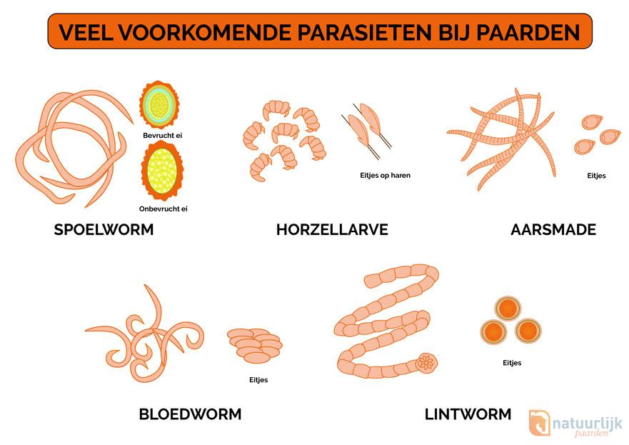 wormen bij paarden met eitjes