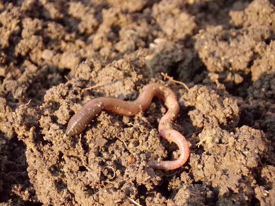 regenworm in goede bodem