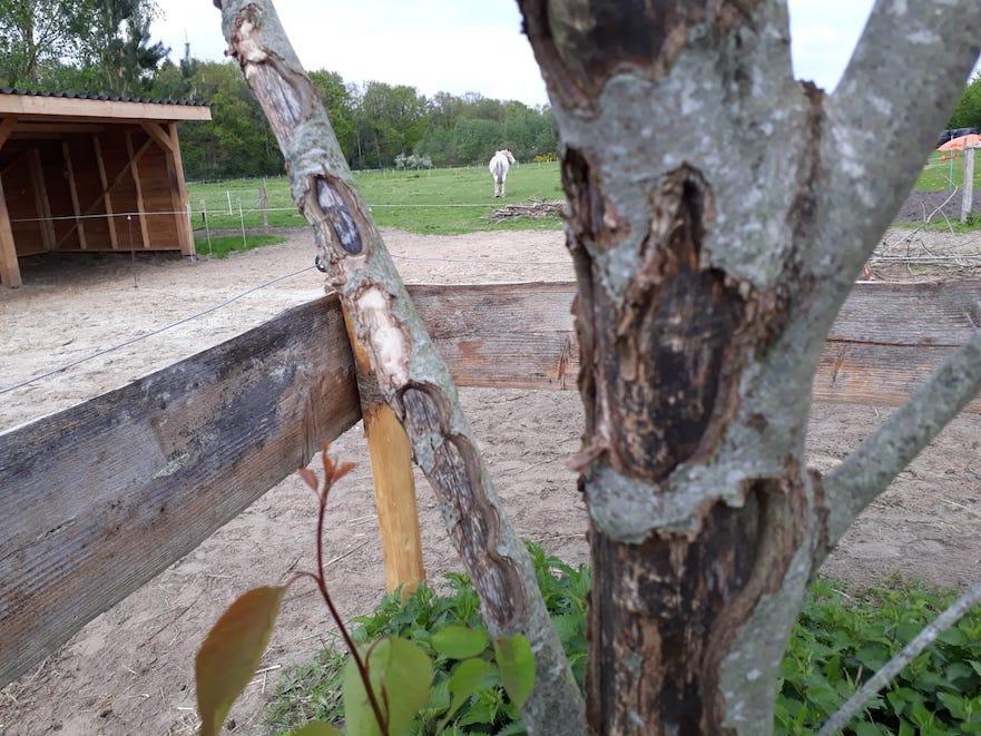 paarden eten aan de bast van bomen