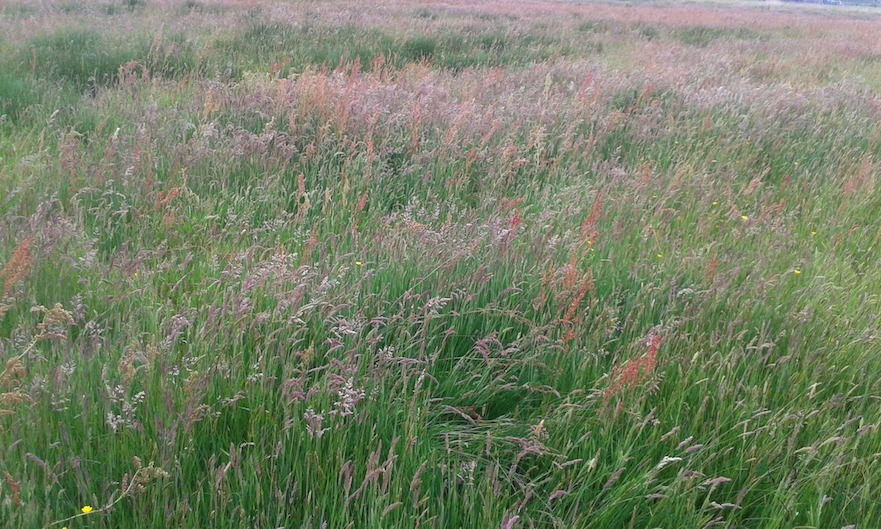 Overgangsfase grasland