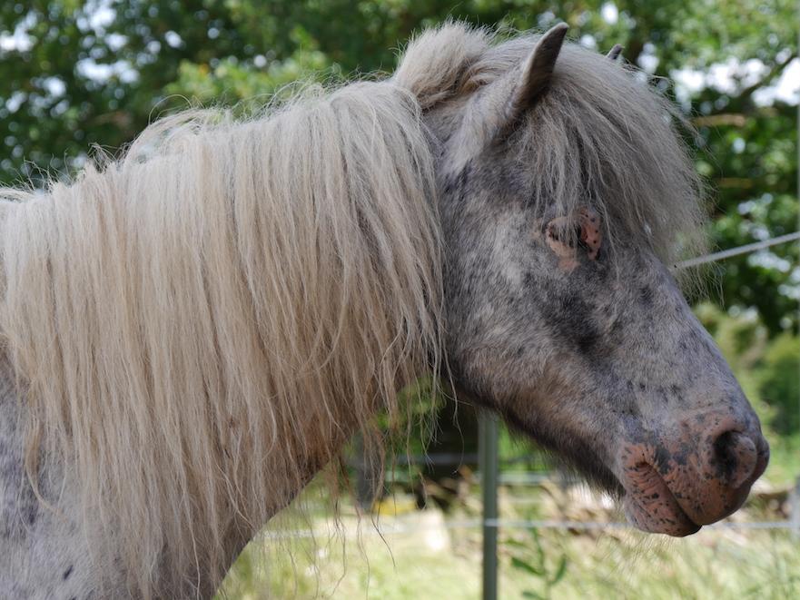 hitteplan voor je paard: let op zonnebrand bij lichte huid