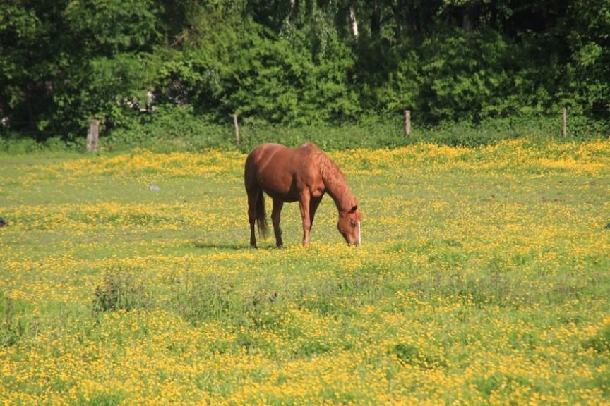 herken giftige planten voor paarden
