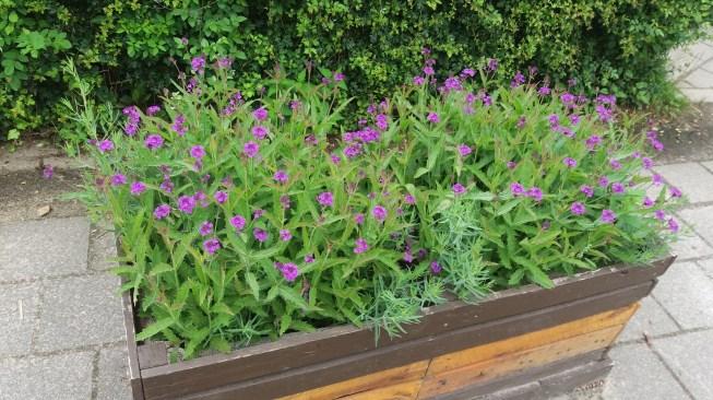 bloeiende Verbena