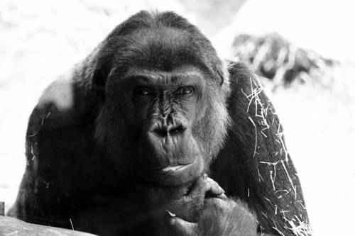 kuris primatas turi didesnę varpą rytinio erekcijos prostatito trūkumas