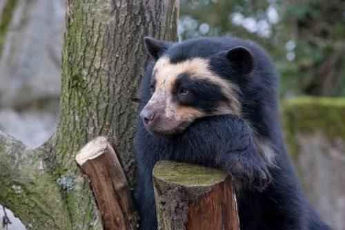 Antskij-iLi-OchkovyJ-medved