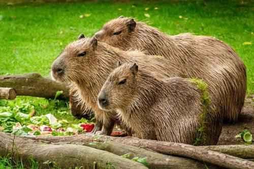 Kapibara.