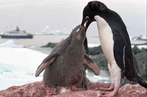 как пингвины кормят детенышей
