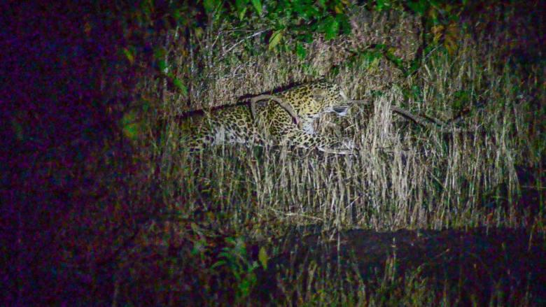 Leopard_night safari_goa_BhagwanMahavirwildlifesanctuary