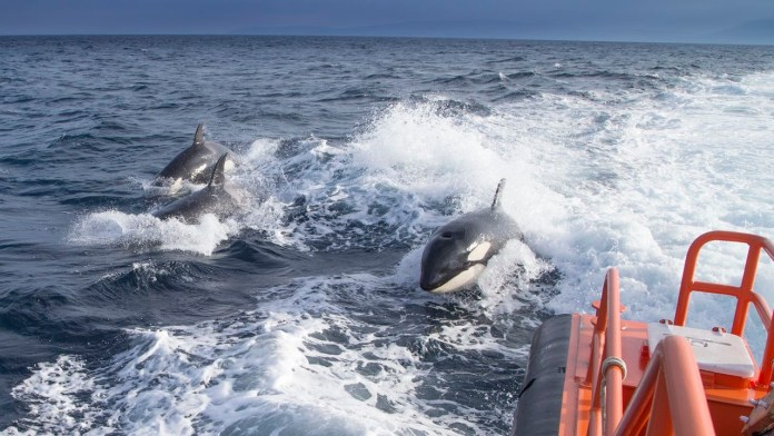 Orca attacks on ships