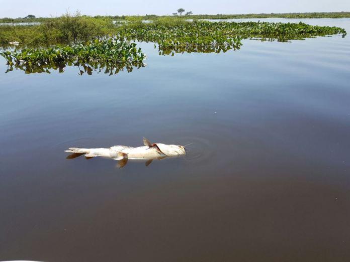 Río Paraná, encontraron microplásticos en Peces
