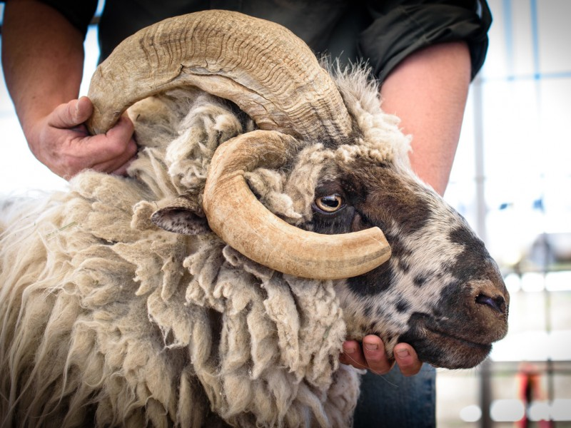 SheepIsLife-2016-13