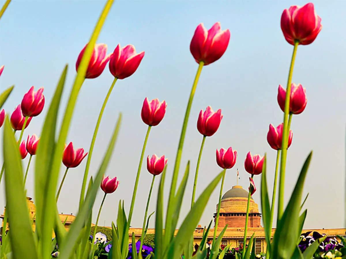 Tulip Mania: What is Tulip Mania?