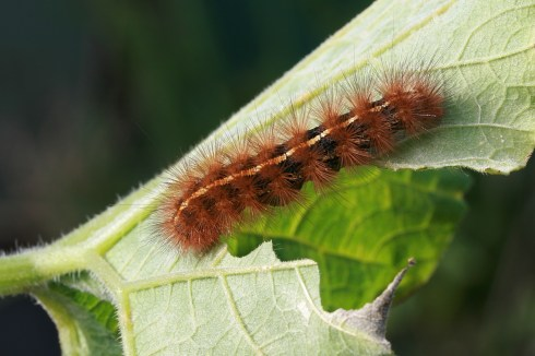Spilosoma_canescens_caterpillar