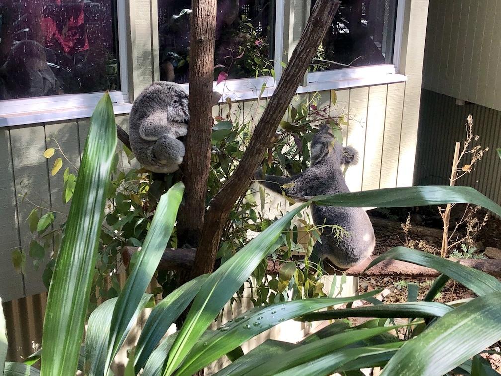 Daisy Hill koalas