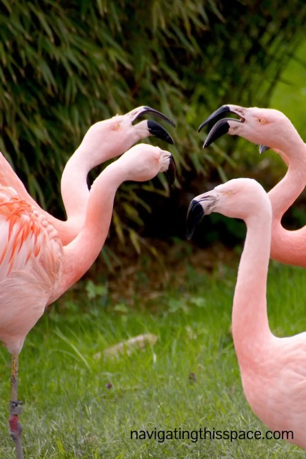 four pink flamingoes communicating with each other