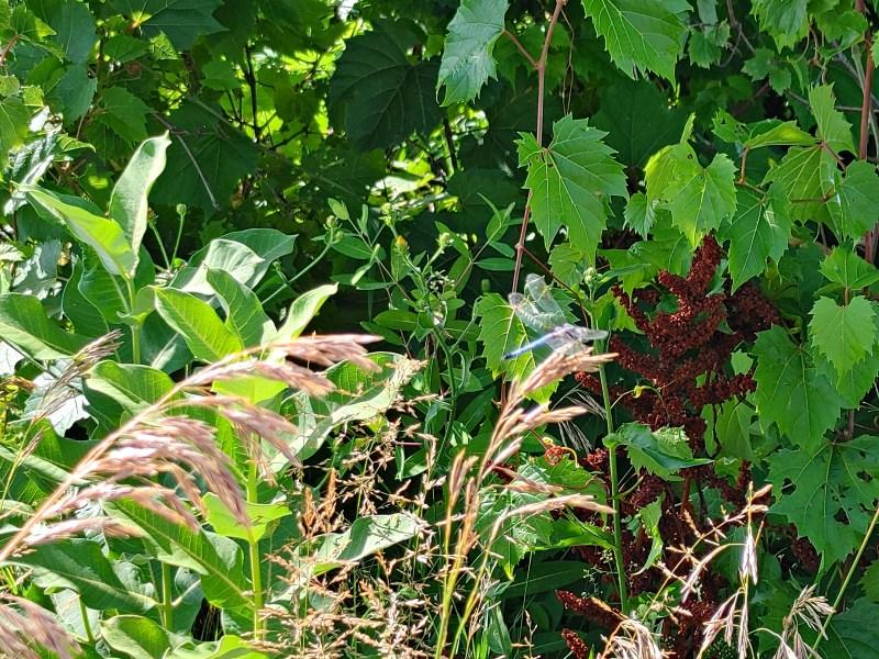dragonfly, montezuma wildlife refuge