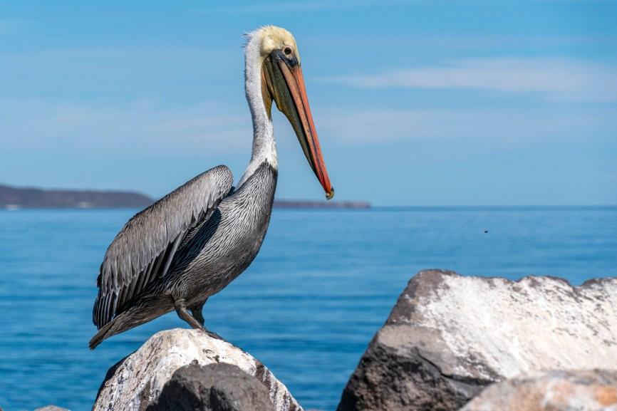 Pelican in Baja California, budget destinations for families.