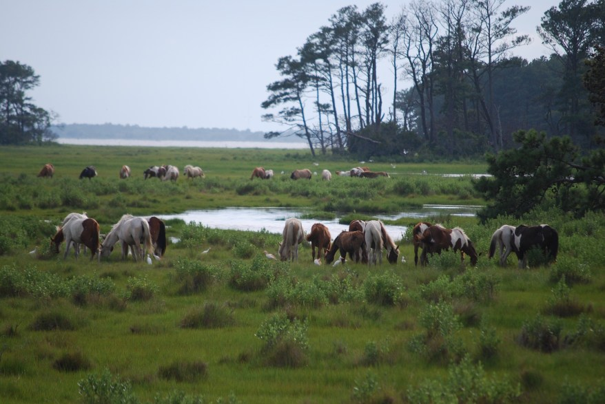 the horses at Assateague