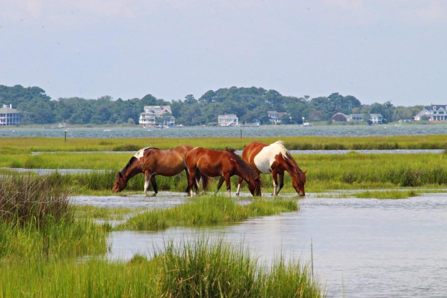 Assateague Island wild ponies, ocean city with kids