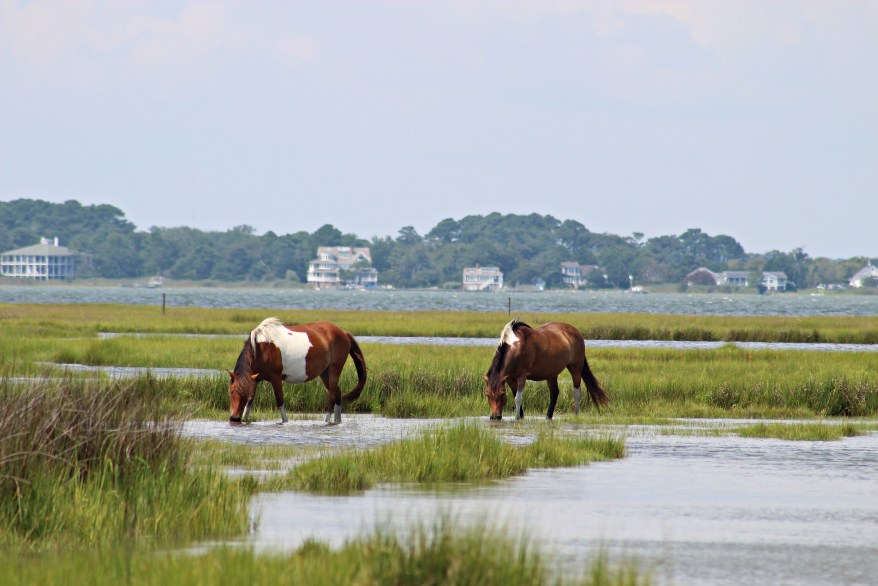 wild ponies on Assateague Island National Seashore