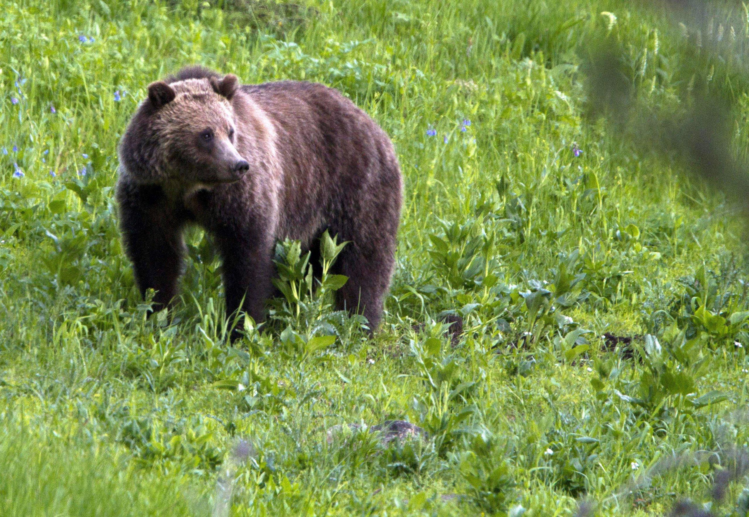 Grizzly Bear Attacks Man in Alaska