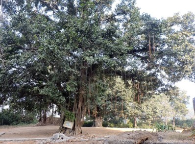 bargad-tree