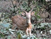 spotted-deer-chital2