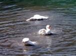 नैनी झील में स्नान कर गर्मियां आने का संकेत करतीं नैनी झील की शान राजहंस बतखें