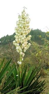रामबांश के फूल