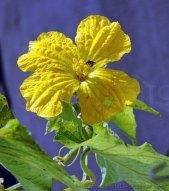 तुरई का फूल