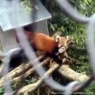 Red Panda (1)