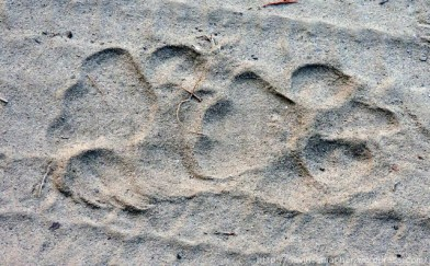 tiger-footsteps1