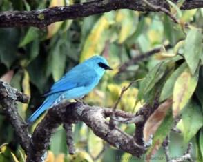 Birdiyar Flycatcher (बरडीयर फ्लाईकैचर)