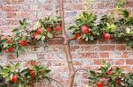 Сорти фруктових дерев для вирощування на балконі