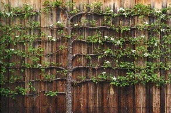 Espalier/palmeta - известный с Древности способ двумерной формы выращивания декоративных деревьев и кустарников и фруктовых деревьев, чьи кроны, они специально формируются, чтобы плоский развитие на wertykalnych поверхности в основании опоры и сетки.