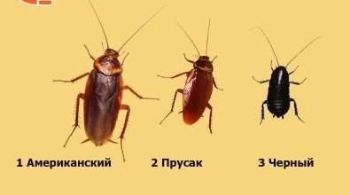 Какие бывают тараканы и как с ними бороться