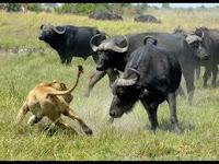 Buffalo and Lion