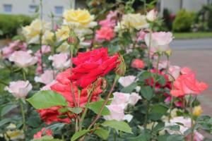 Róże przed Domem
