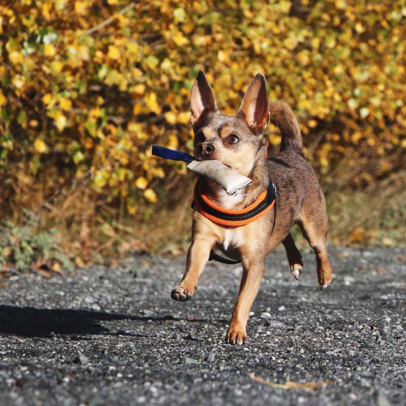 Hunde beim Fotoshooting Action in Bewegung Fotografie Apportiert Chihauhaumix