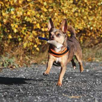 Chihuahua Mix Apportiert Hunde Fotoshooting
