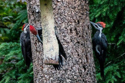 woodpeckers_1040169