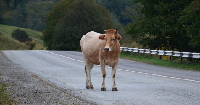 cow-on-the-road-acident-avoided-nbg-logistics-usa - NBG Logistics