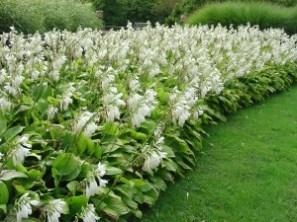 Hosta 'Royal Standard' flowering