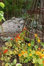 Nasturtiums climbing Hazel teep pee
