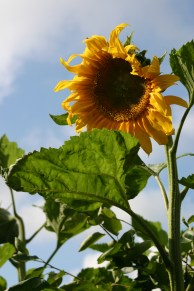August 2012- glorious Sunflowers