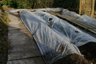 After planting the potatoes- fleece covered rows to help the soil to warm up