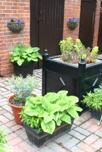 Hostas, Olive, Sweet Williams and a rather battered Euhporbia