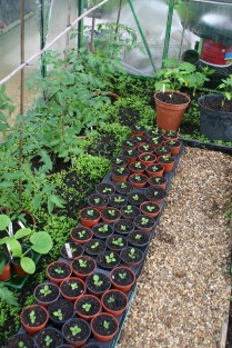 Inside the greenhouse- tomatoes, peppers.squash and white foxgloves -being brought on for next year
