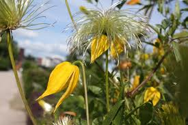 Clematis tangutica flower and seed head- late summer into autumn and winter interest