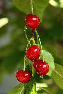 Morello or sour cherries